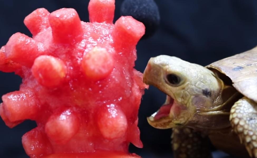 Egy teknős elfogyasztott egy koronavírus formájúra faragott dinnyedarabot