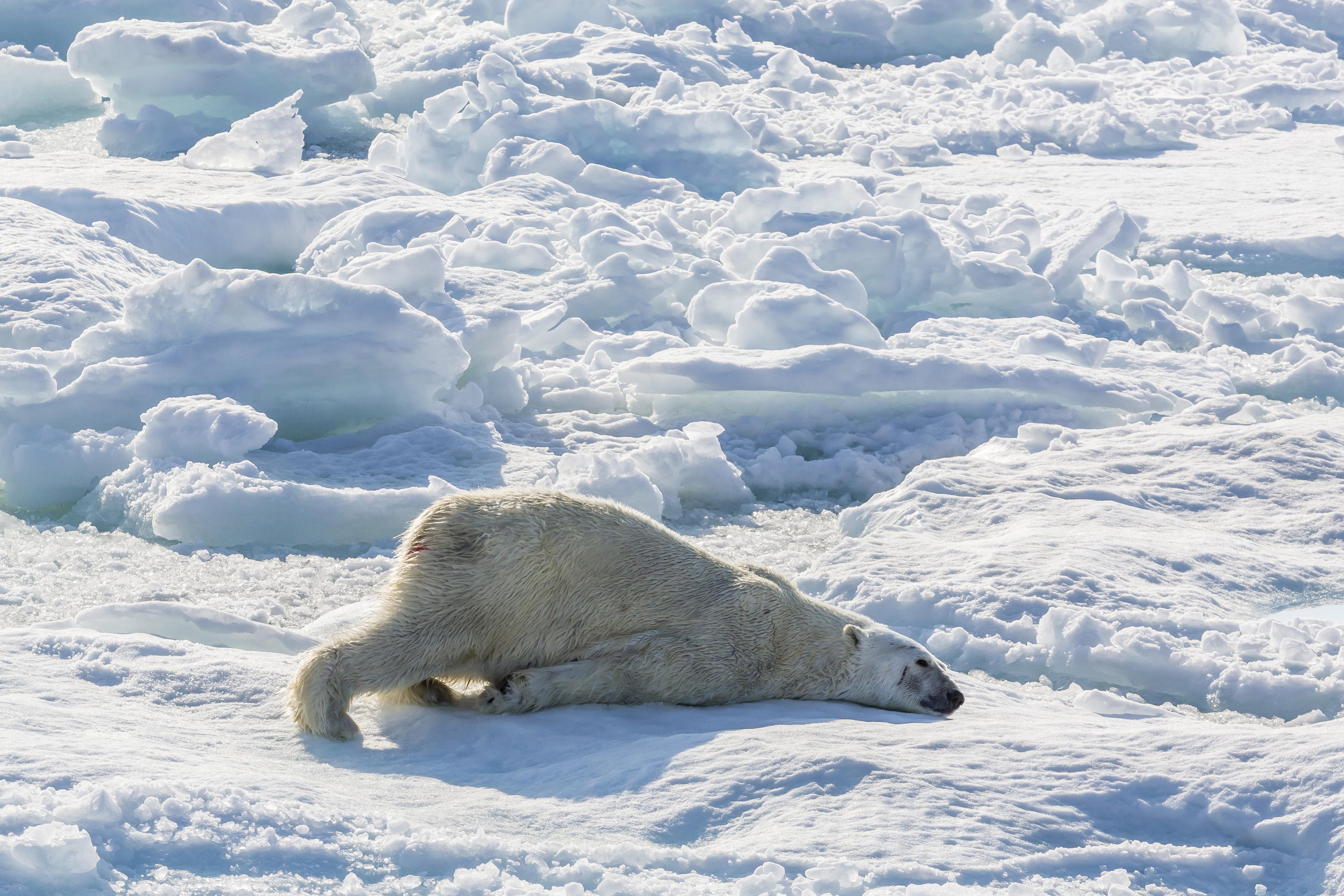 Fogynak és elfogynak a Baffin-öböl jegesmedvéi