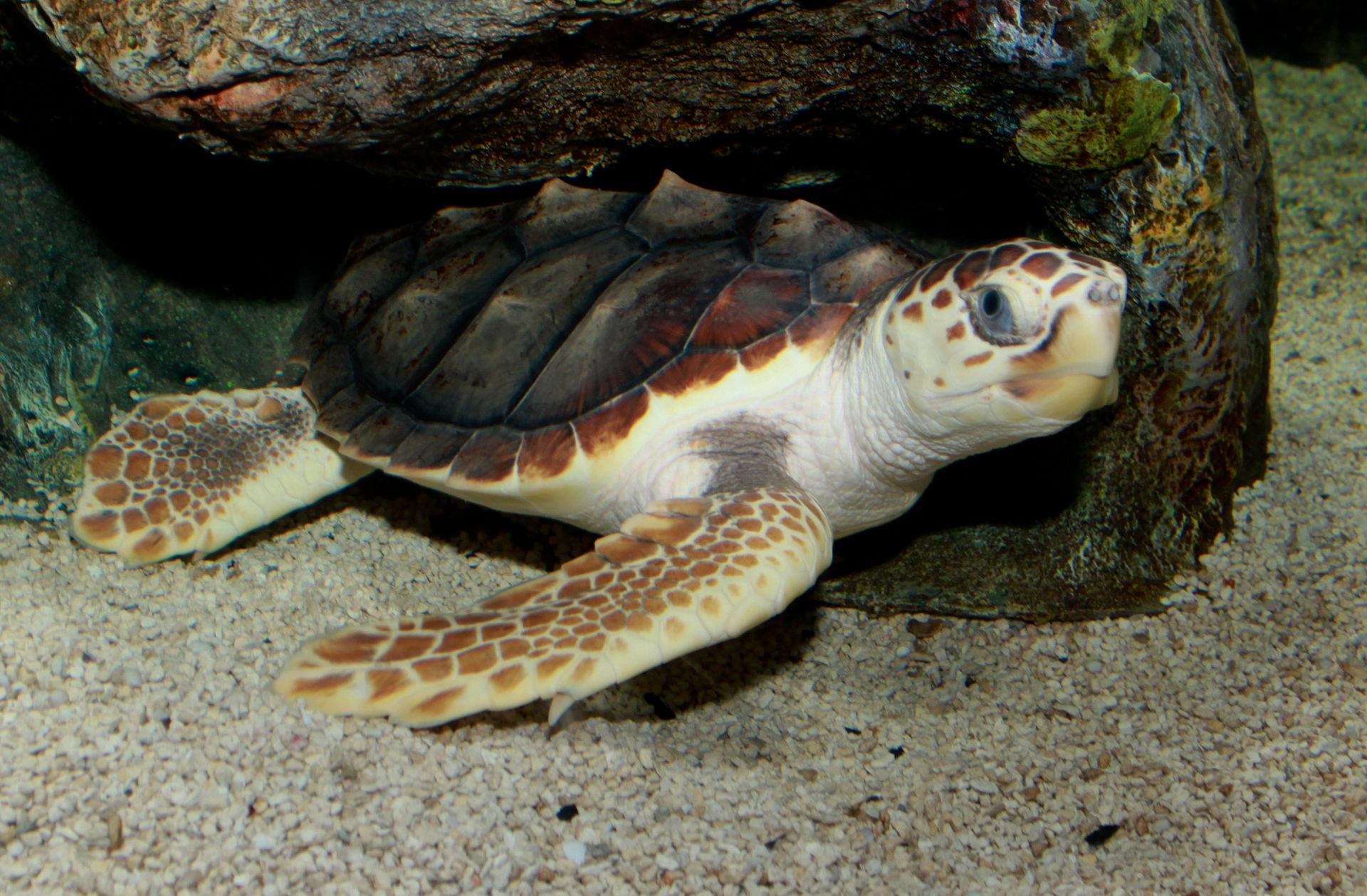 Egy új kutatás szerint a tengeri teknősöket nemcsak a műanyagszemét kinézete, hanem a szaga is vonzza