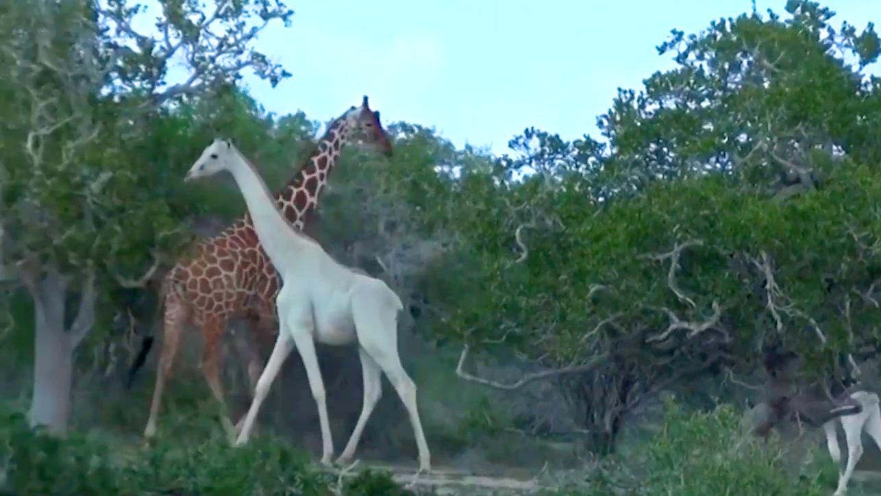 Orvvadászok végeztek két igen ritka fehér zsiráffal