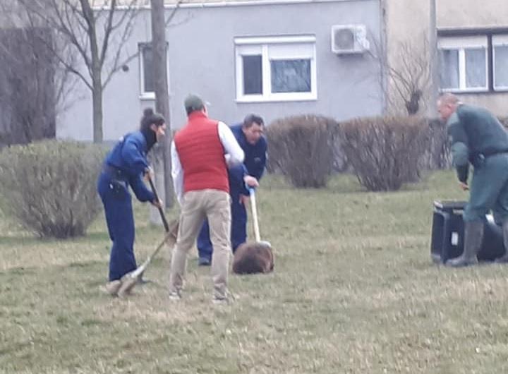 A rendőrök seprűkkel tereltek egy kuka felé egy kifejlett hódot Sátoraljaújhelyen