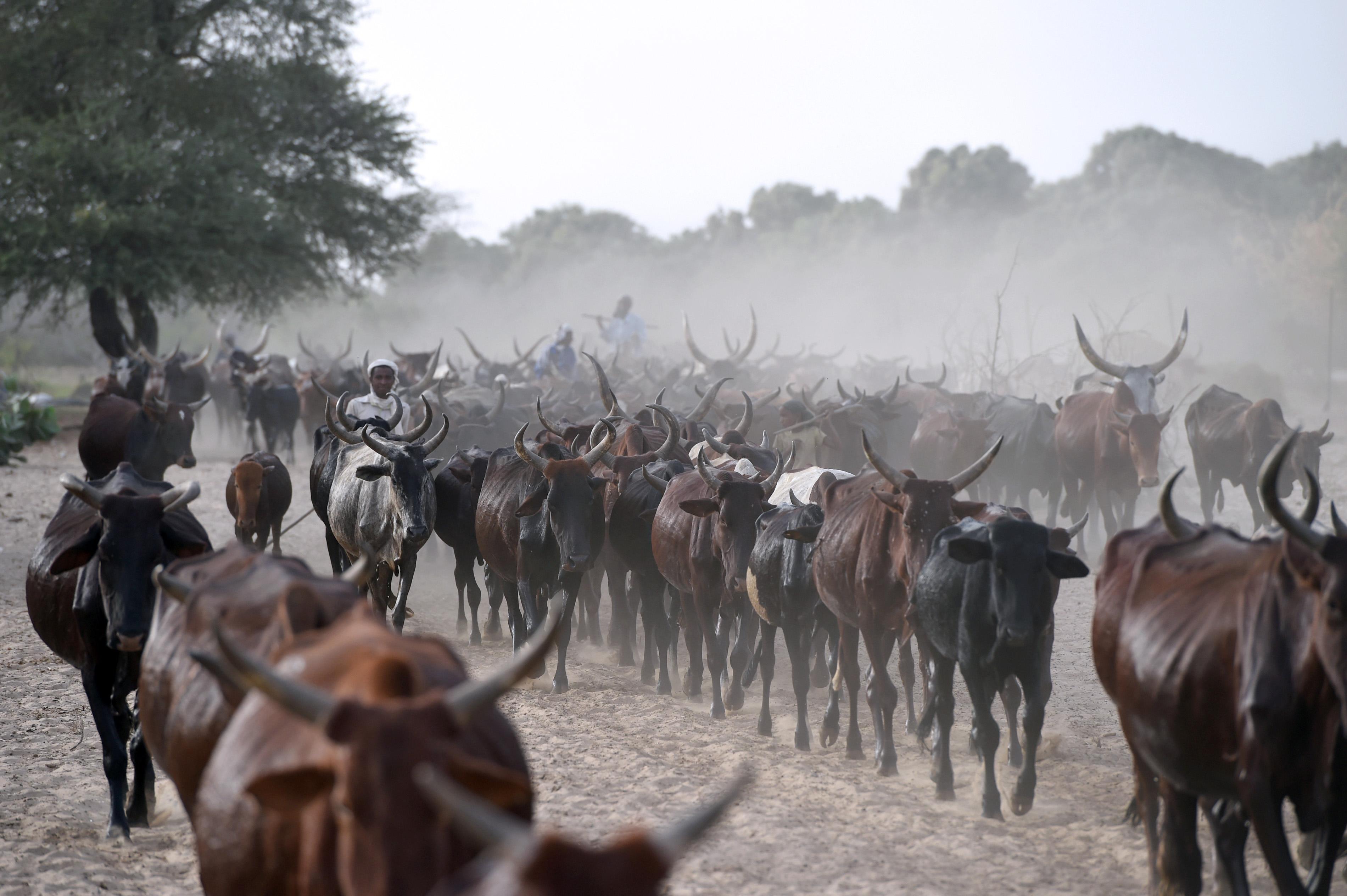 Csád marhákban fizeti vissza 100 millió dolláros tartozását Angolának