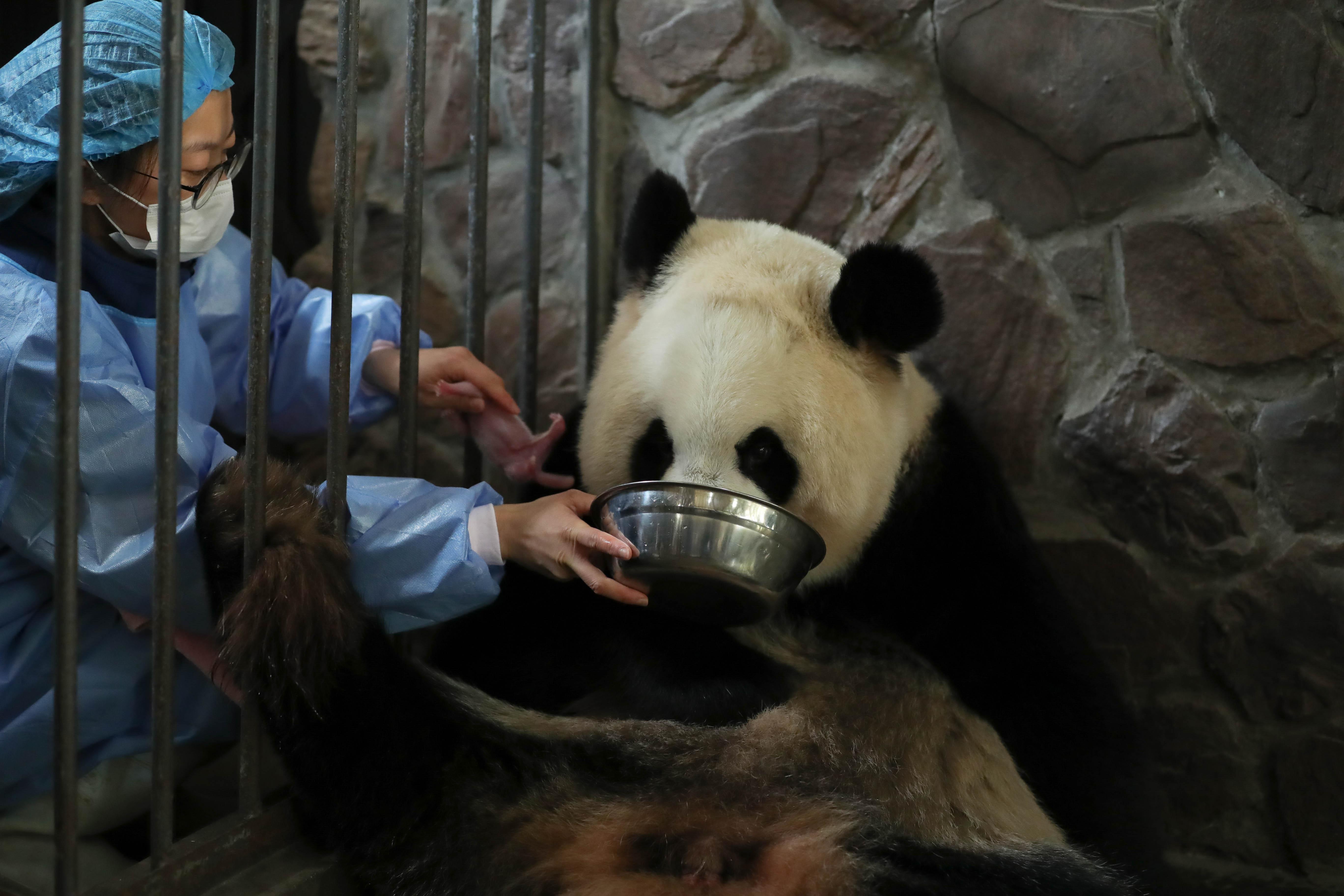Szokatlan időpontban születtek pandaikrek Szecsuánban
