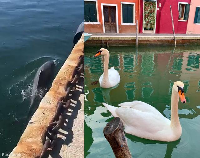 Hatalmasat futottak az interneten, de nem igazak azok a hírek, hogy a hattyúk és delfinek visszatértek Velencébe