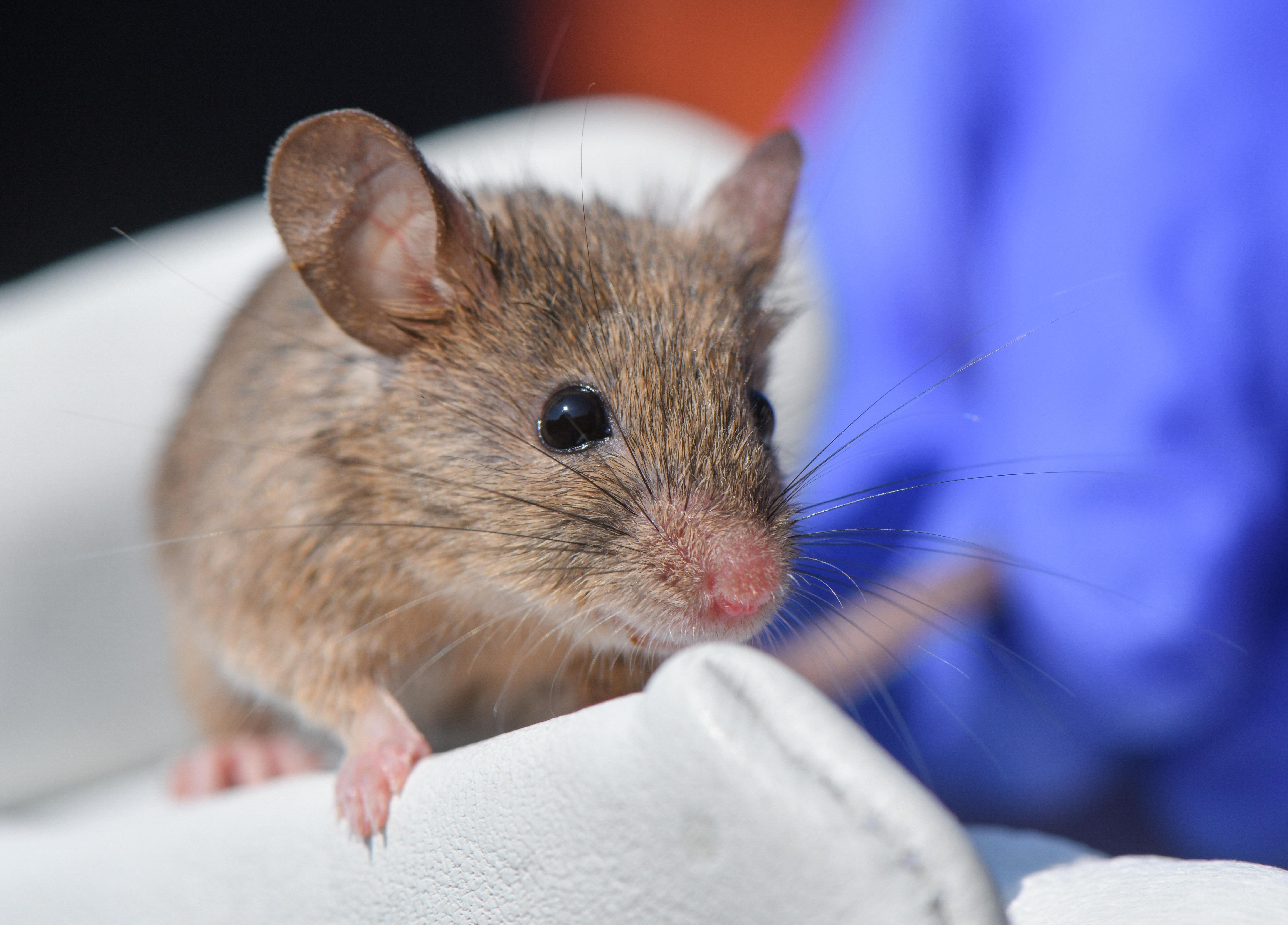 A búzacsírában, diófélékben és a férfiak ondójában lévő spermidin javítja az emlékezőképességet