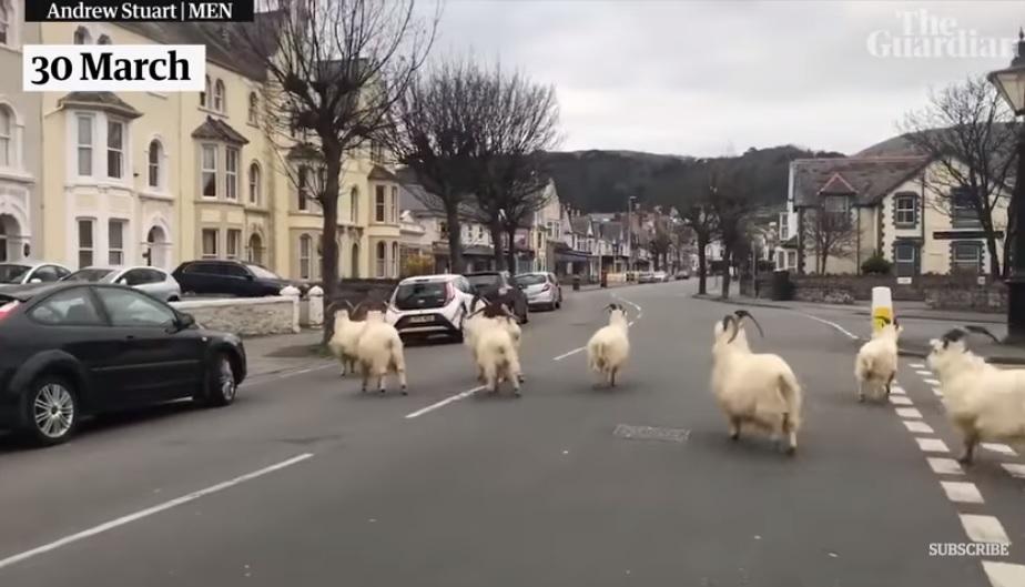 Kecskék vették át az uralmat a walesi Llandudnóban