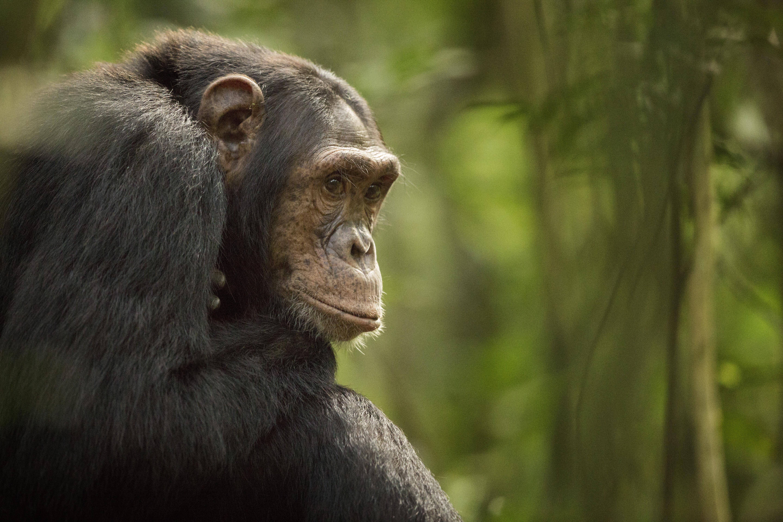 Ugyanúgy öregedhetnek a csimpánzok, mint az emberek
