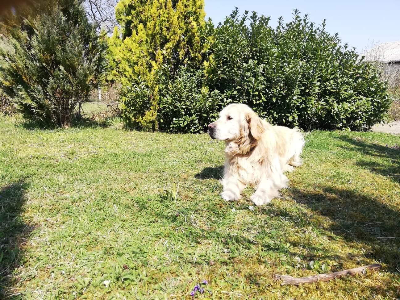 Nyugdíjazták Nicót, a vakvezető kutyát, új gazdát keres