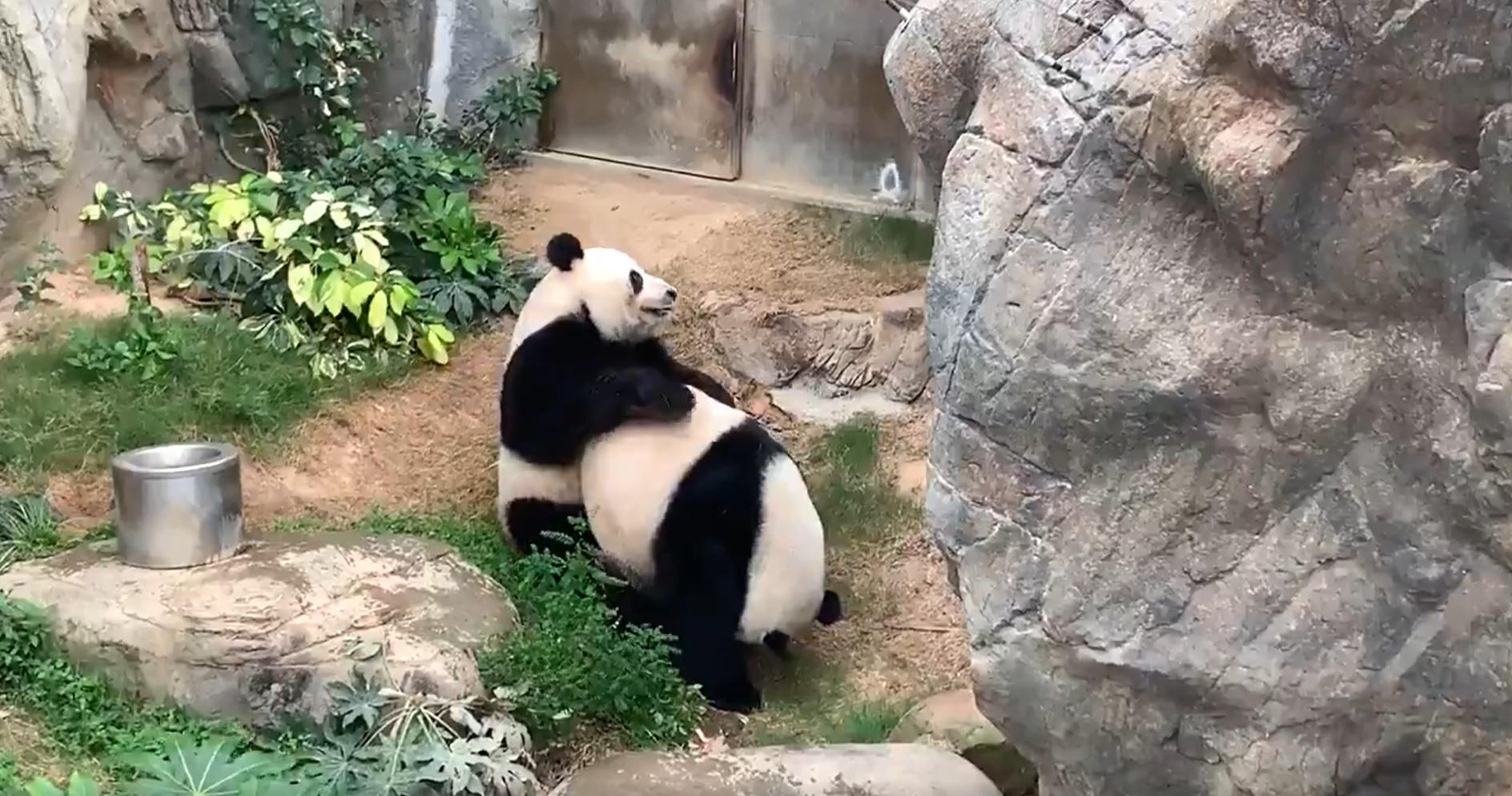 Bezárták a hongkongi állatkertet és a pandák rögtön párosodni kezdtek