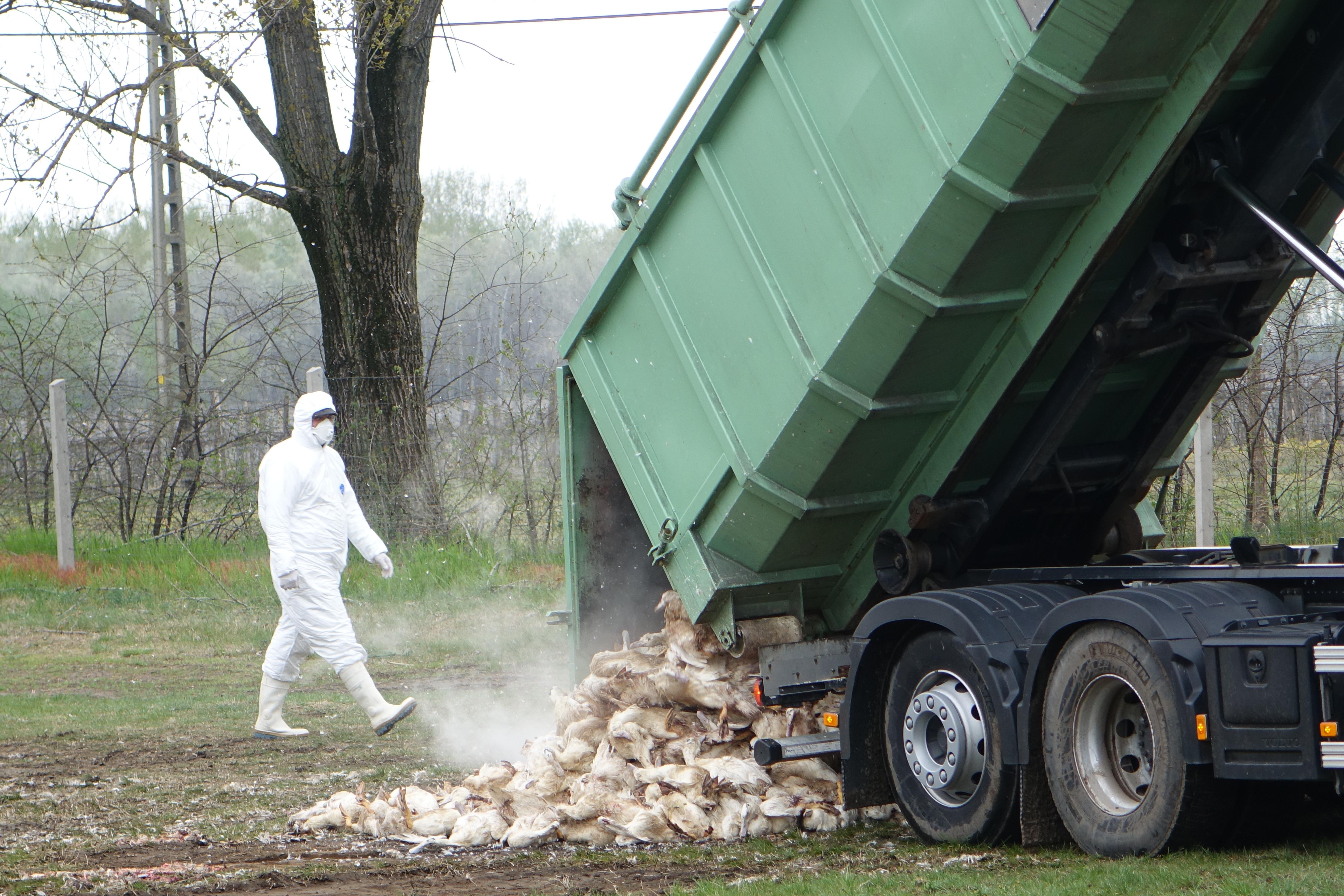 A madárinfluenza miatt gödrökbe temetik a leölt baromfikat
