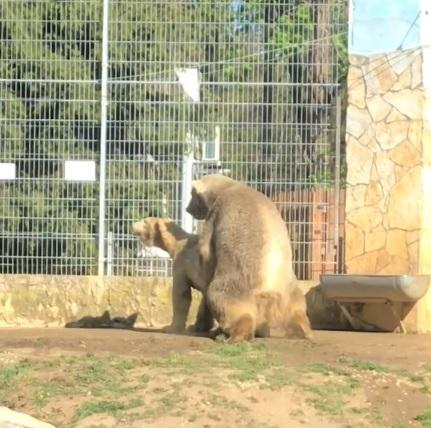 Ahogy eltűntek a látogatók, párosodni kezdtek a nyíregyházi jegesmedvék