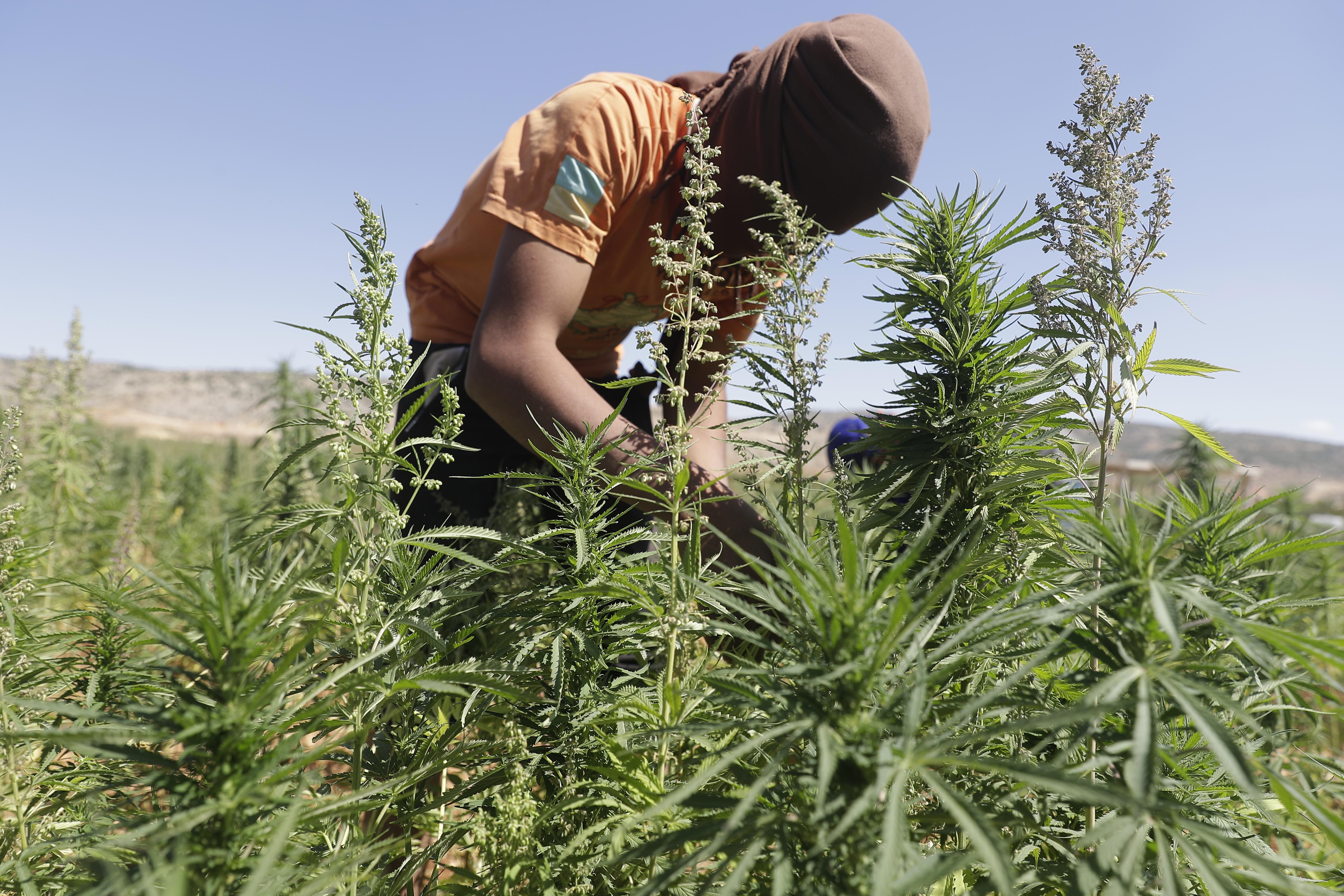 Libanon az orvosi marihuána legalizálásával pörgeti fel a gazdaságát