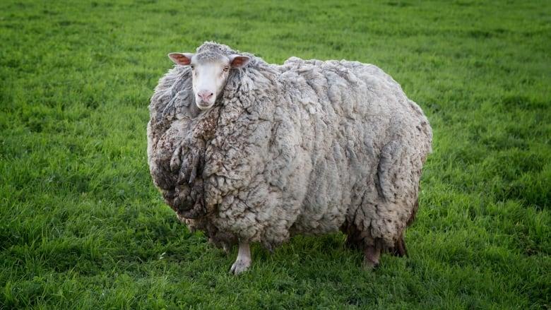 Hét évig bolyongott a vadonban nyírás nélkül egy juh, hatalmas gyapjúfelhőként bukkant fel újra
