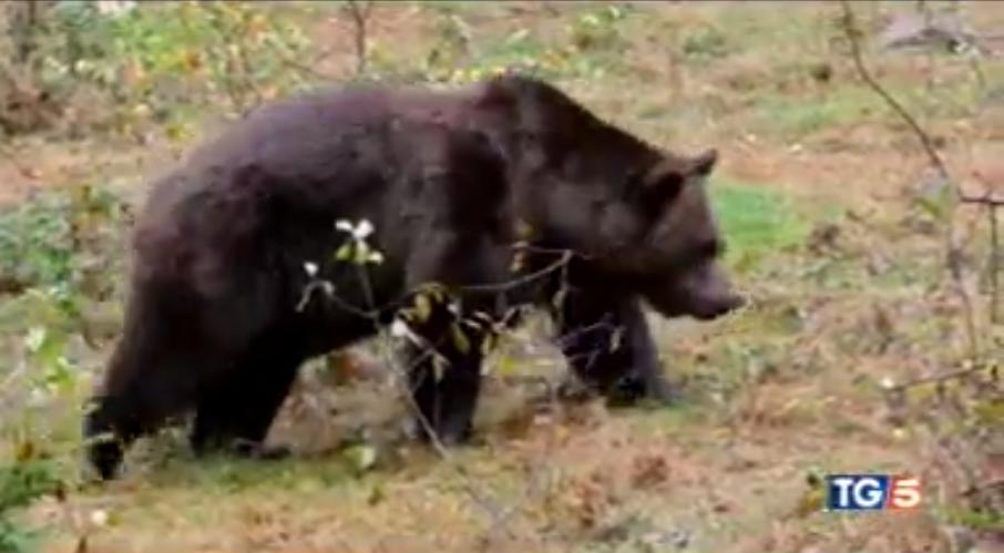 Megint bekasztlizták Európa legkeresettebb medvéjét, ami már kétszer is megszökött