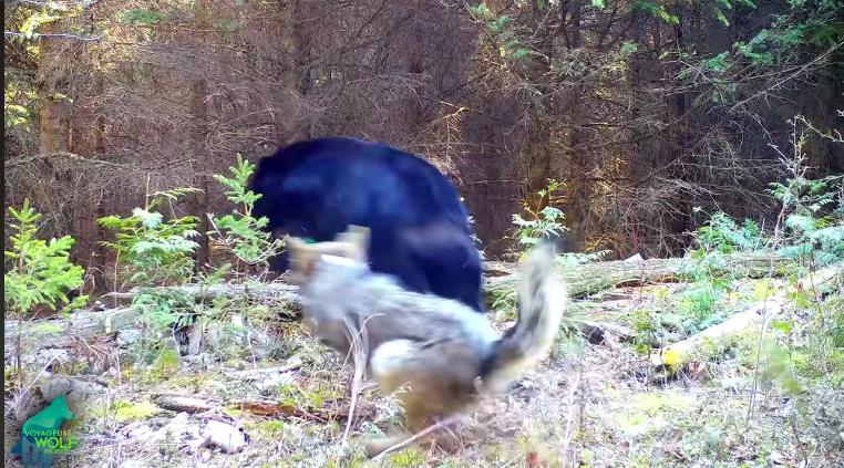 A feketemedve meg akarta enni a négy farkaskölyköt, ám a szülők éppen ekkor értek haza