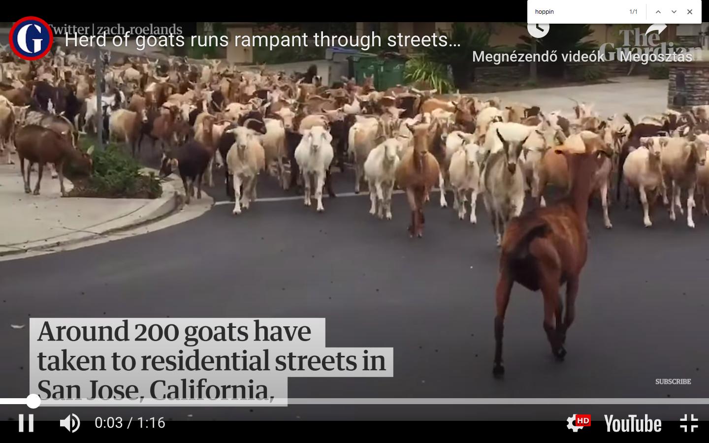 Egy teljes kecskenyáj szabadult a kaliforniai San Jose utcáira