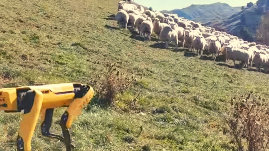 Robotkutya tereli a nyájat Új-Zélandon