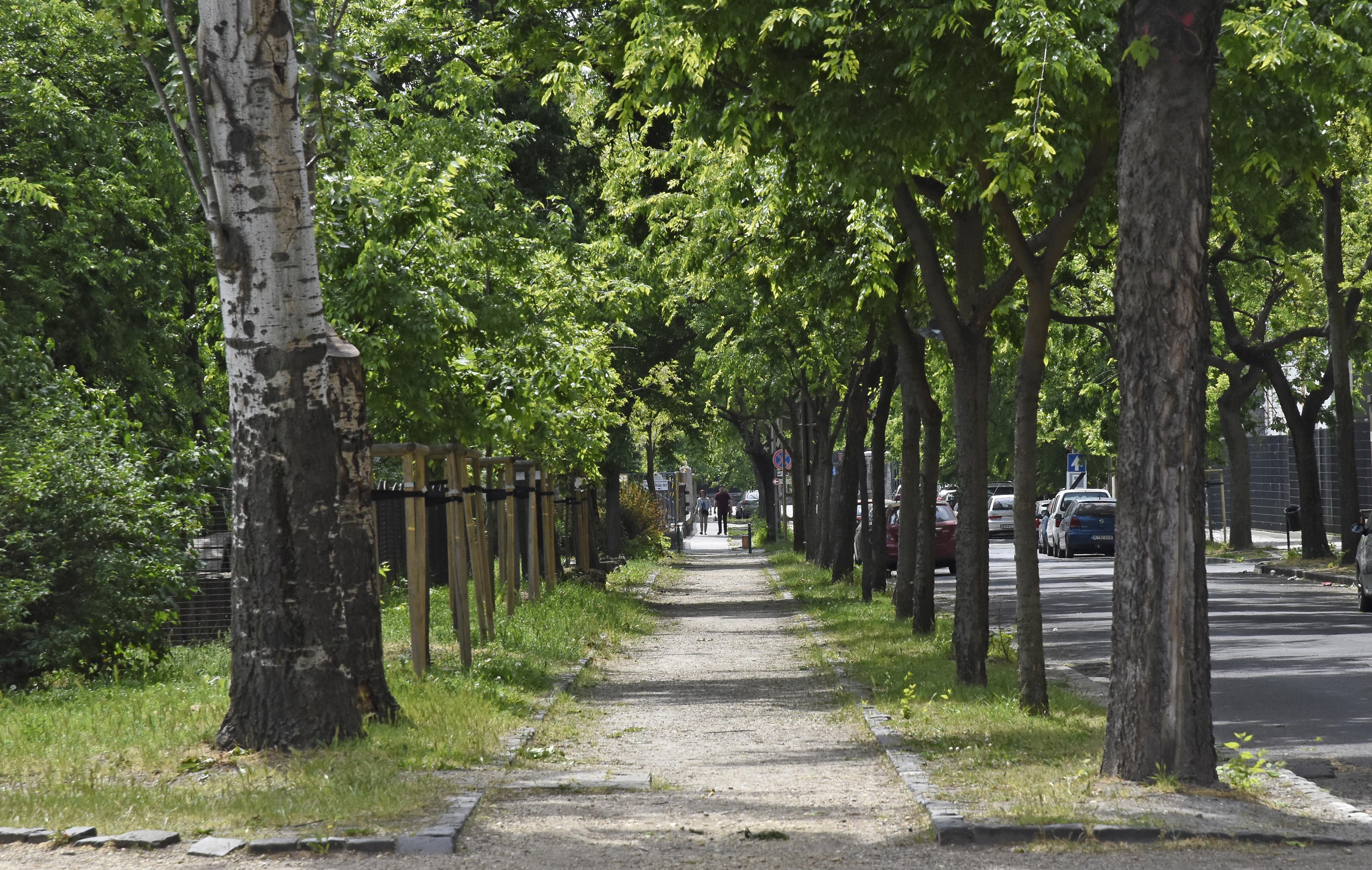 Budapest főtájépítésze szerint a fővárosi fák 80 százaléka beteg