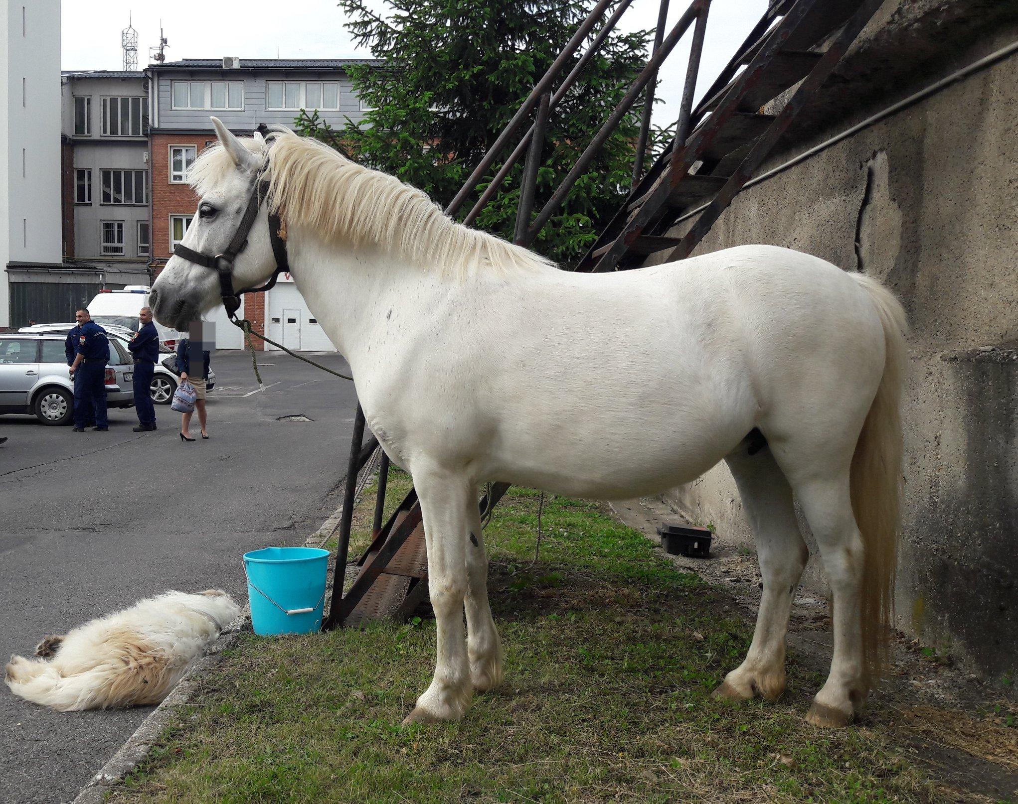 Kiderült, hogy került a miskolci tűzoltóságra a fehér ló meg a fehér kutya