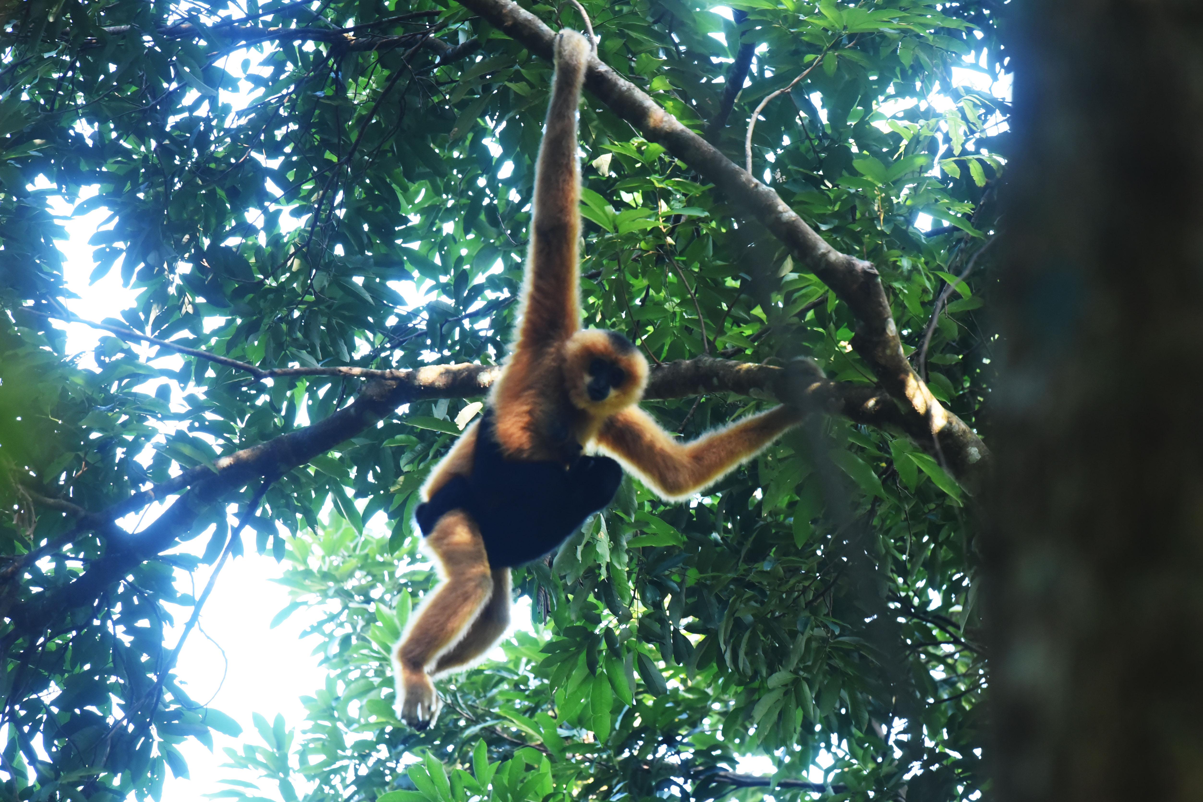 Egy új pár felfedezése új reményt jelent a világ legritkább főemlősfajának