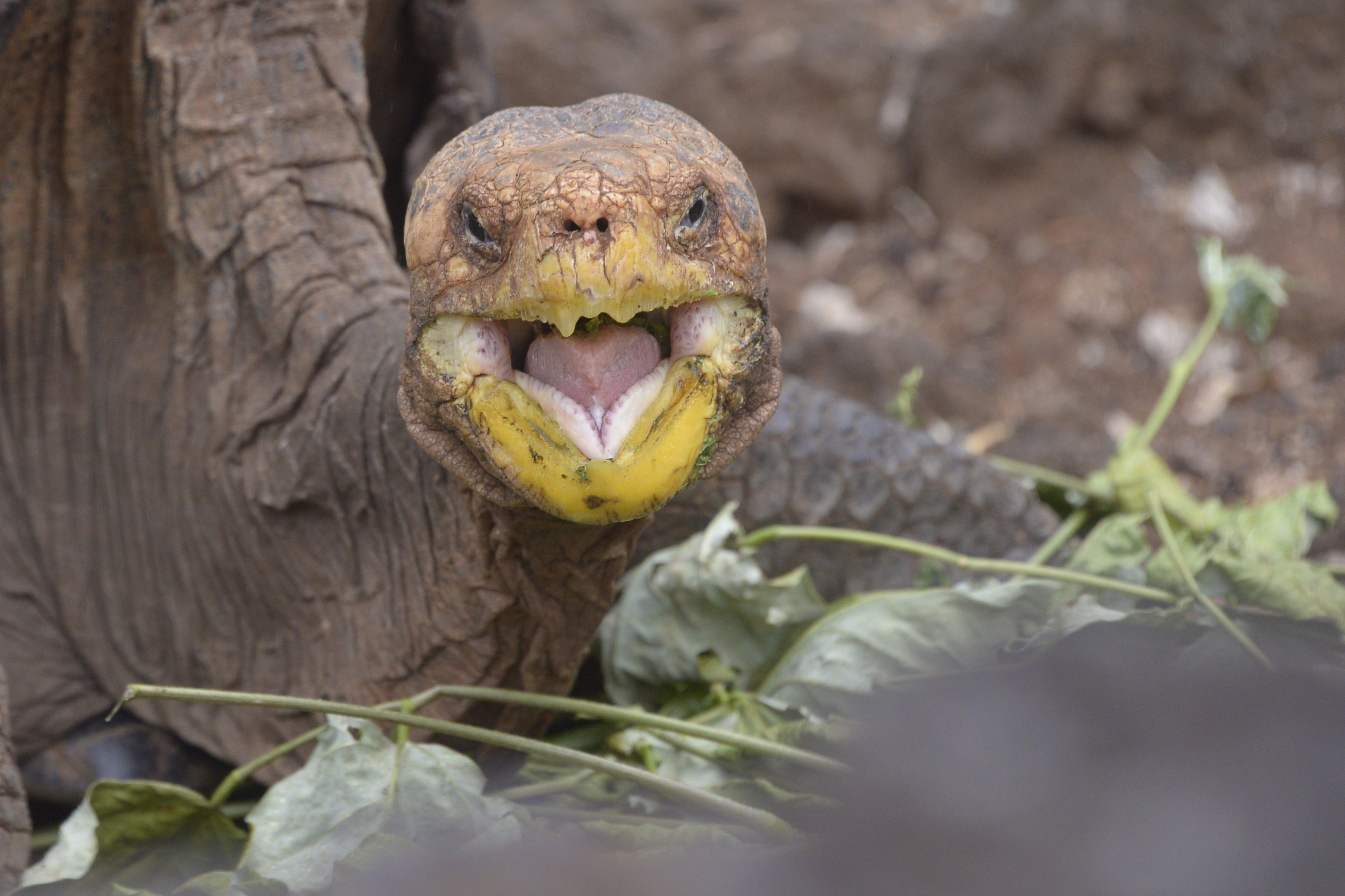 Nyugdíjba vonult Diego, a galápagosi óriásteknős, aki szinte egymaga mentette meg faját a kihalástól