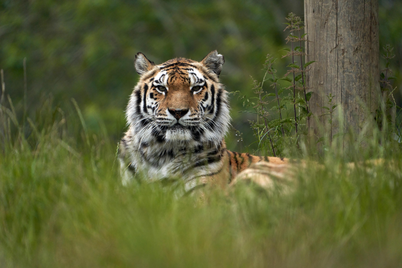 A látogatók szeme láttára ölt meg egy tigris egy gondozót a zürichi állatkertben