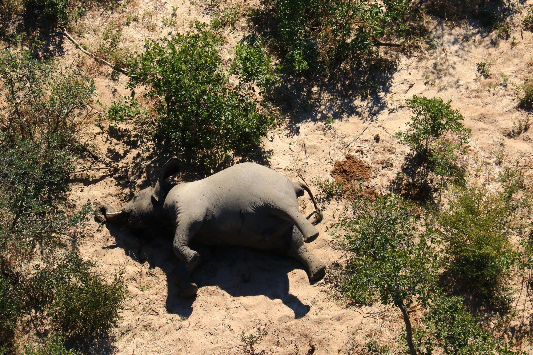 Valószínűleg egy eddig nem ismert kórokozó miatt pusztulnak el az elefántok Botswanában