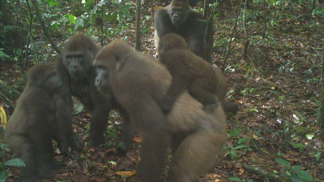 Népes családot kaptak lencsevégre a világ legveszélyeztetettebb gorillafajából Nigériában