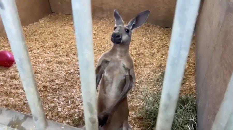 Letartóztattak és rács mögé csuktak egy kengurut Floridában