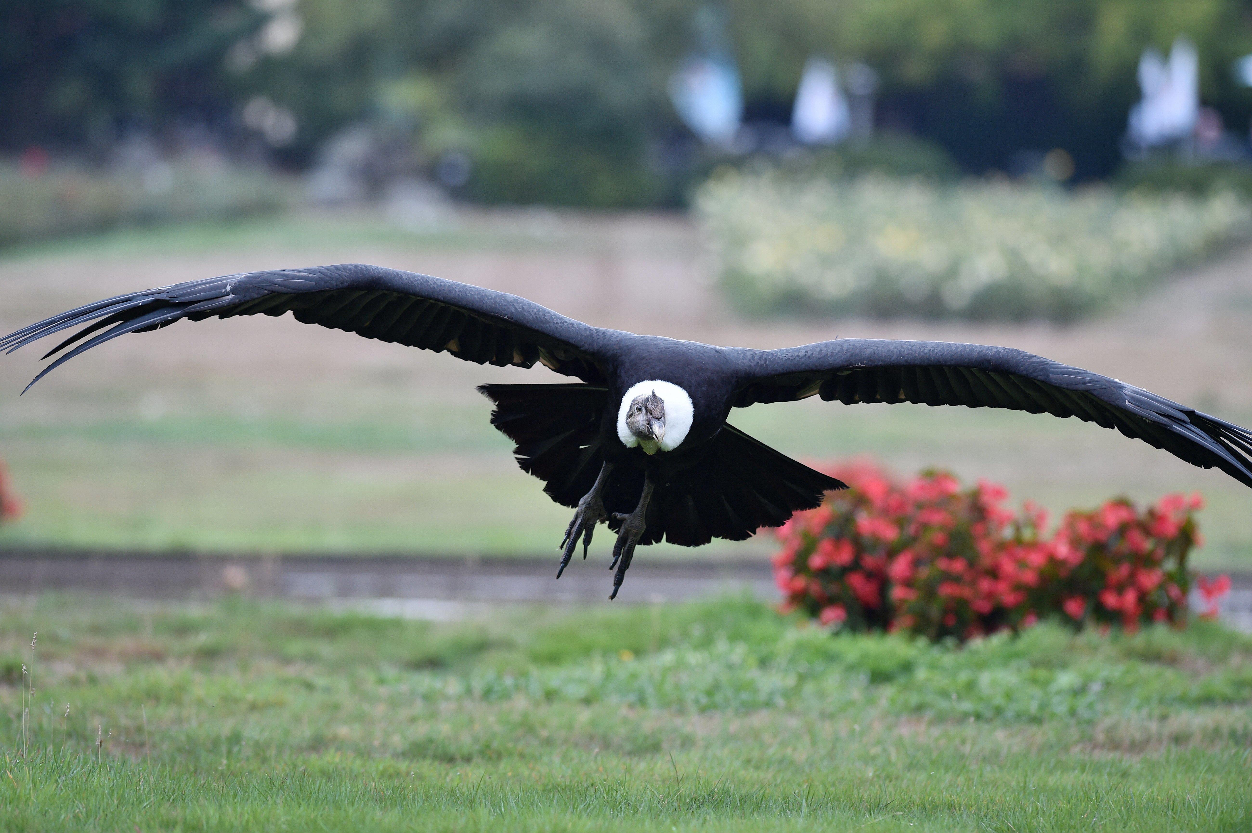 Szárnycsapás nélkül tud 172 kilométert repülni az Andoki kondor