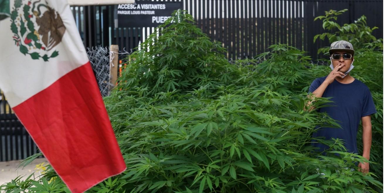 420 kannabisztő sarjadt a földből a mexikói szenátus közelében