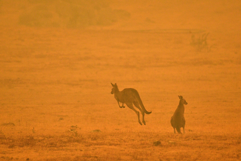 Hárommilliárd állat halhatott meg vagy kellett meneküljön az ausztrál bozóttüzek miatt