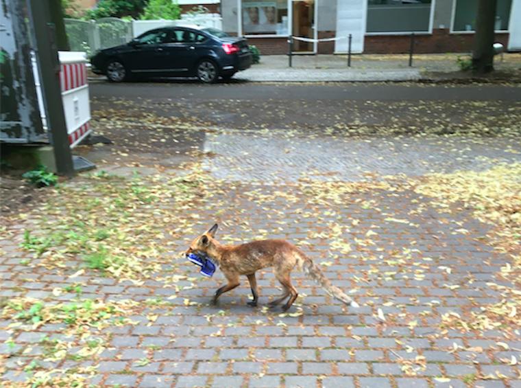 Lebukott egy berlini róka, aki nagy titokban ellopott 100  papucsot, így derült ki, hogy a németek fele Crocsban jár