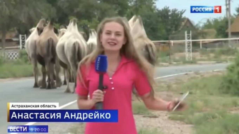 Egy orosz nyugdíjas szélnek eresztette kb. 80 tevéjét, és ezzel három falura is terrort bocsátott