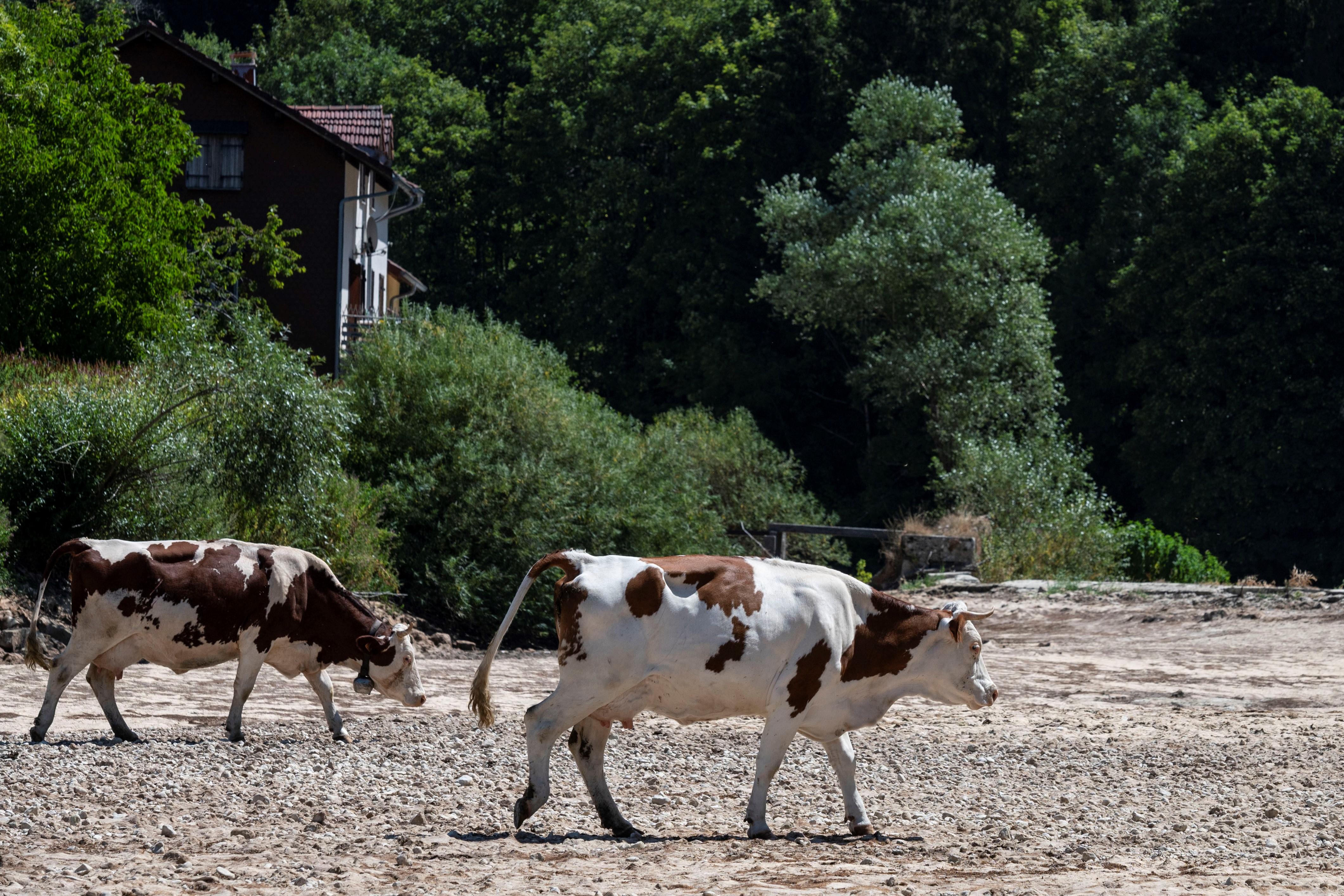Kifeszített egy zsinórt az út fölé, hogy a szarvasmarháit terelje, de biciklisek akadtak fenn rajta