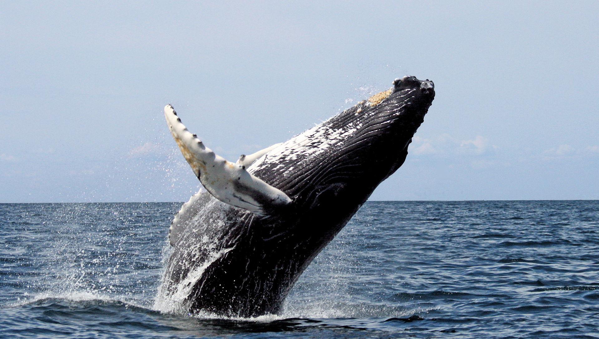 Beúszott két hosszúszárnyú bálna közé az ausztrál nő, súlyos sérülésekkel került kórházba