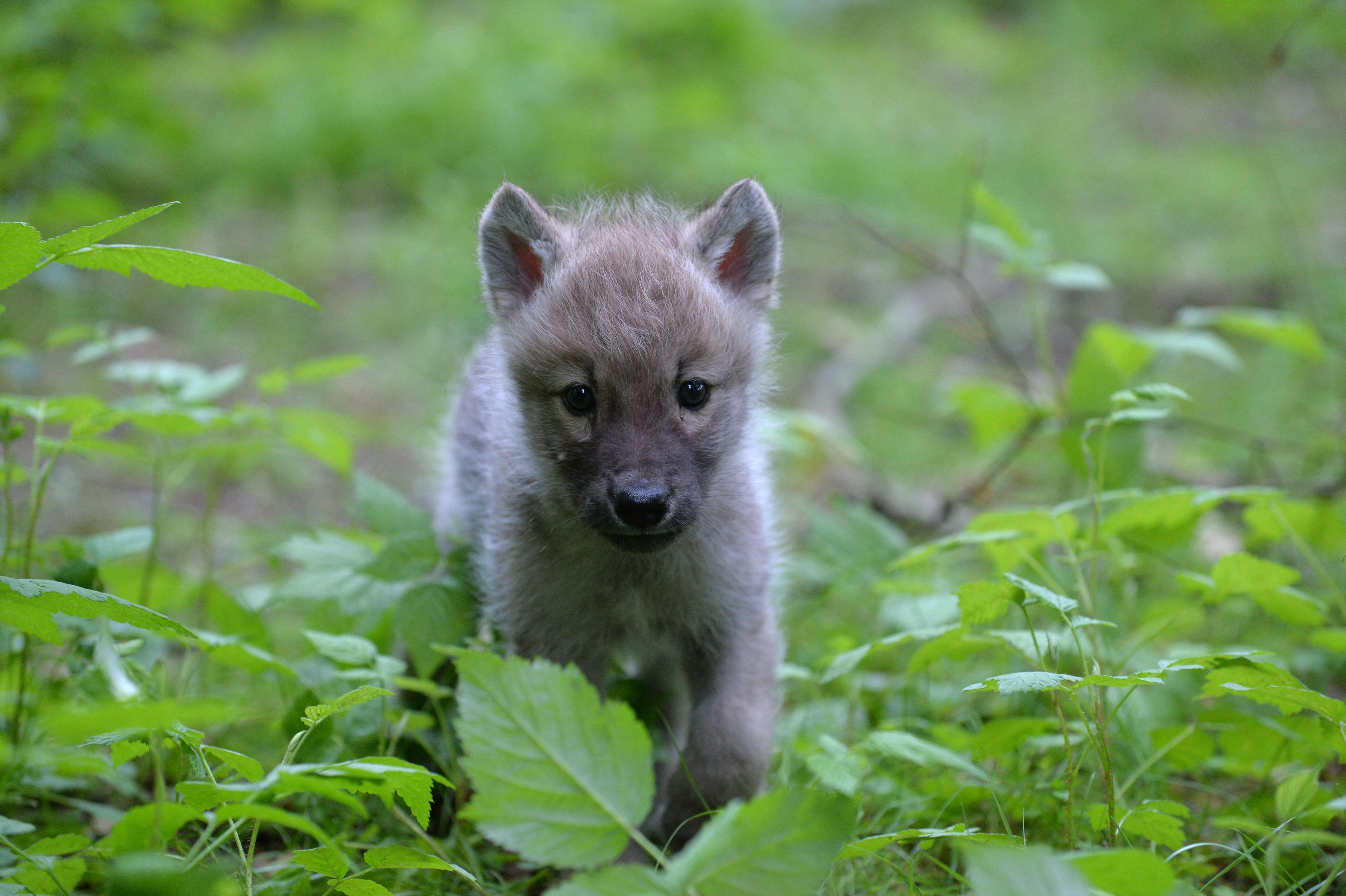 A nemzeti park kéri, hogy senki ne induljon farkaskölyköket keresni a Bükkbe