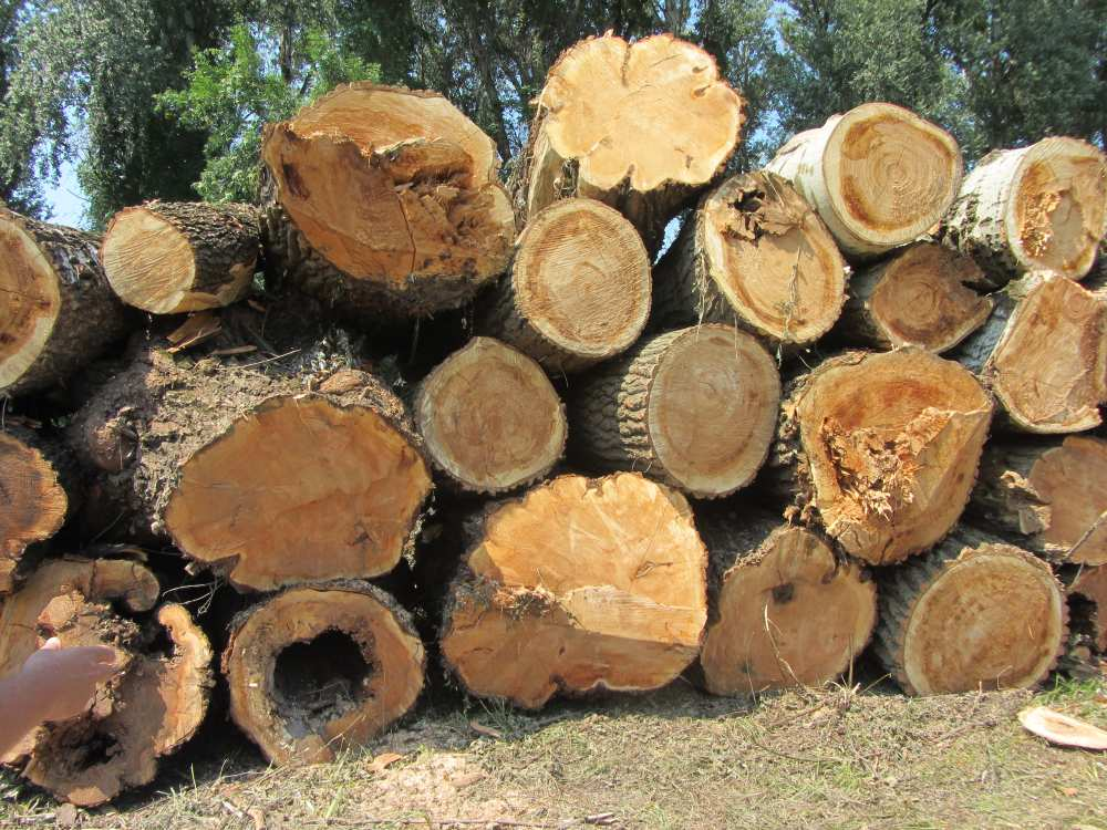 Tarra vágtak egy védett, száz éves erdőt Tiszaugnál