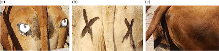 Hivatalos: Ha a tehén fenekére szemet festenek, kevésbé vadássza le az oroszlán és a leopárd