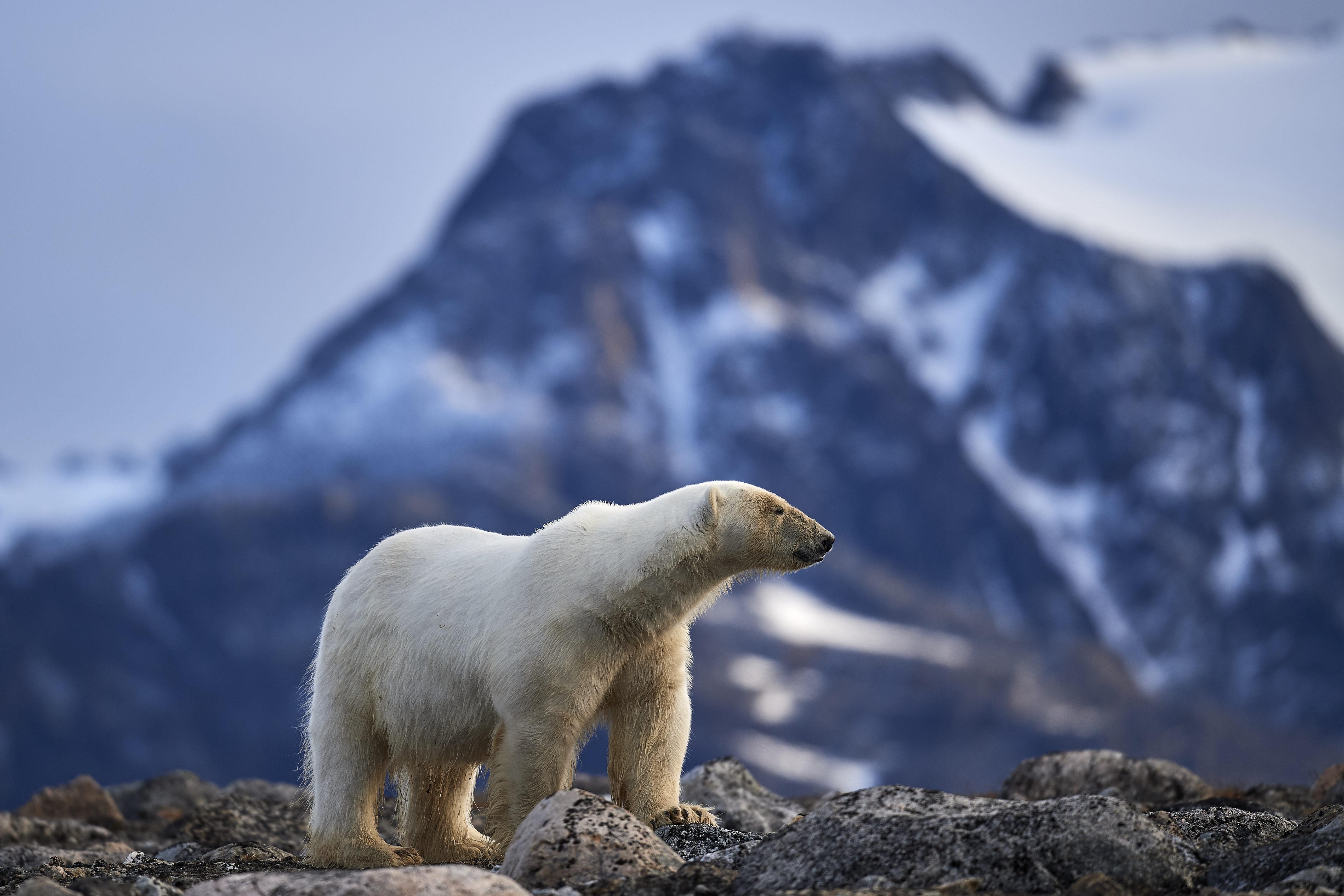 Jegesmedve ölt meg egy kempingezőt a norvég Svalbard szigeteken