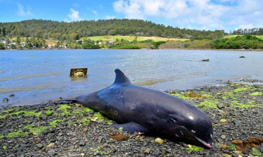 Pusztulni kezdtek a delfinek az olajszennyezéssel érintett mauritiusi partoknál