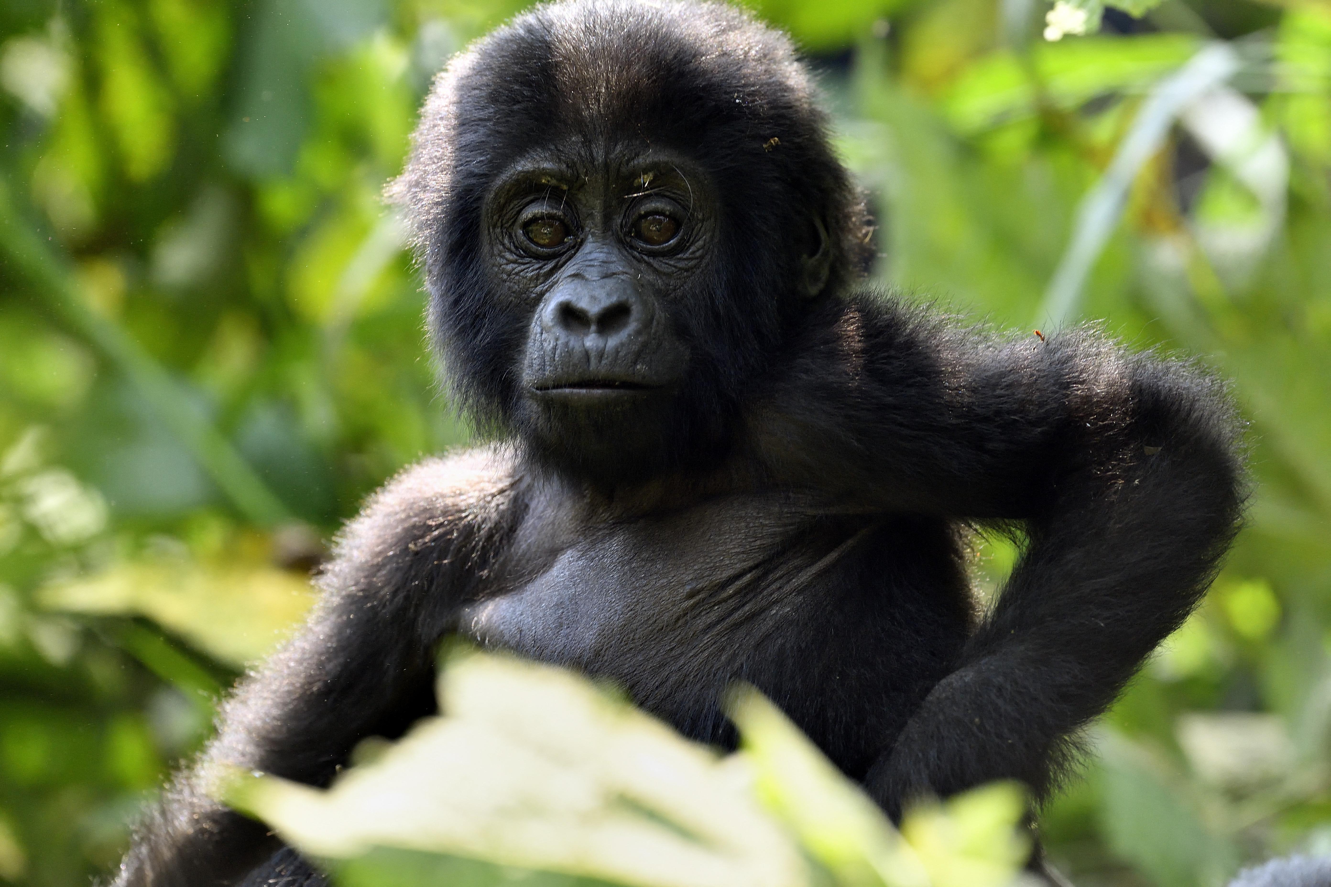 Kiugróan sok hegyi gorilla született egy ugandai nemzeti parkban