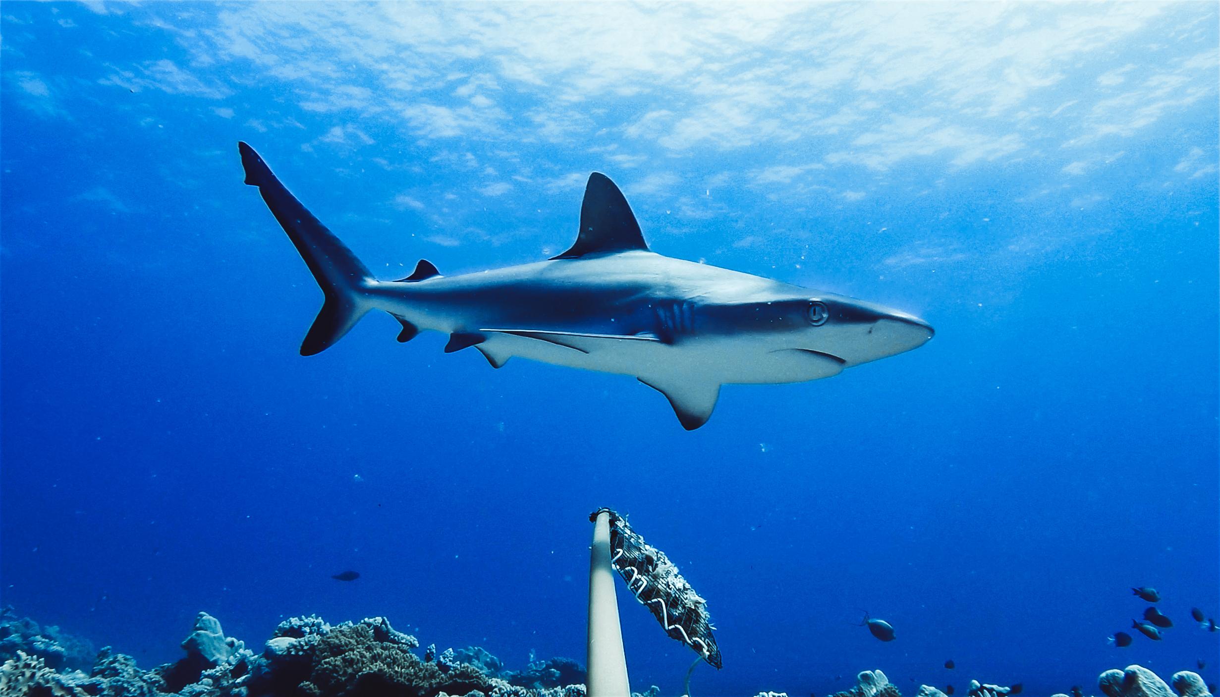 Természetes GPS-ként használják a Föld mágneses mezejét a cápák