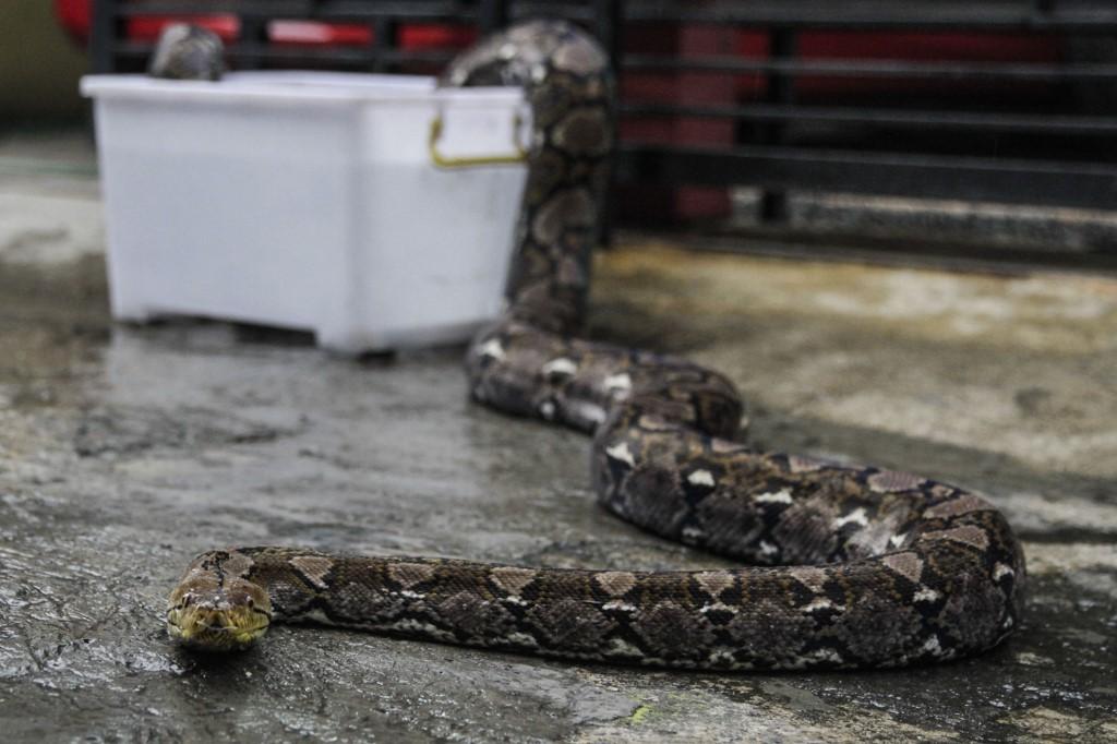 Hét tojást rakott a világ legöregebb kígyója egy amerikai állatkertben, pedig húsz éve magányos