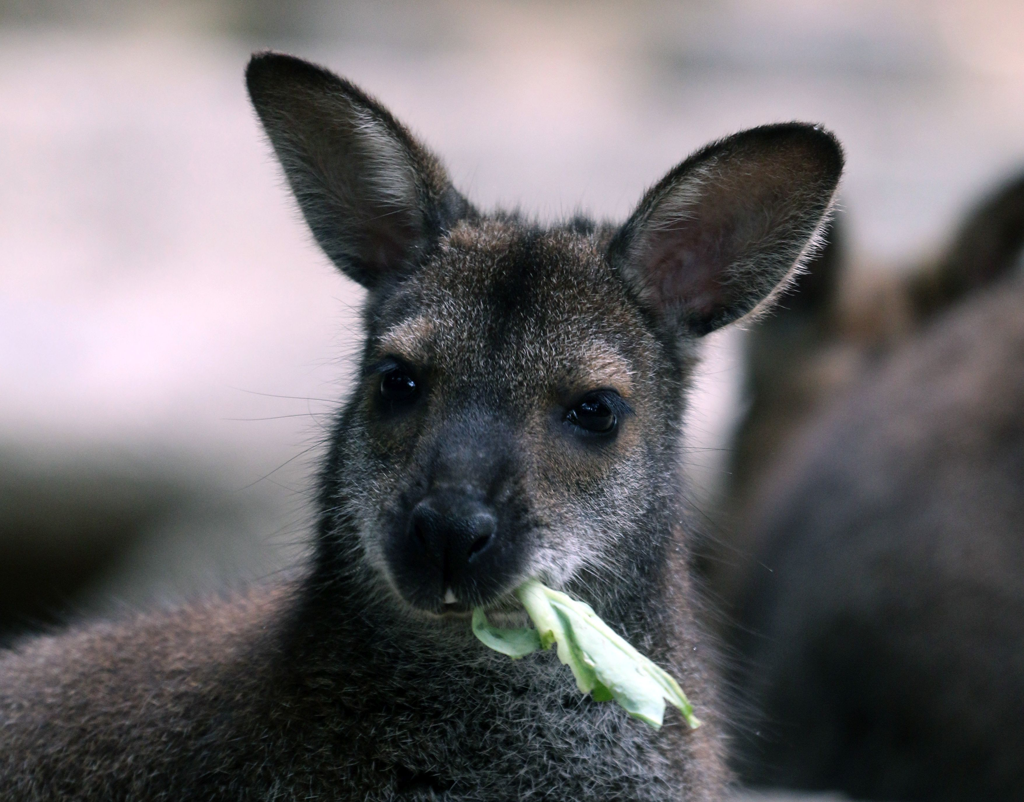 Sikerült befogni a miskolci állatkertből megszökött kengurukat