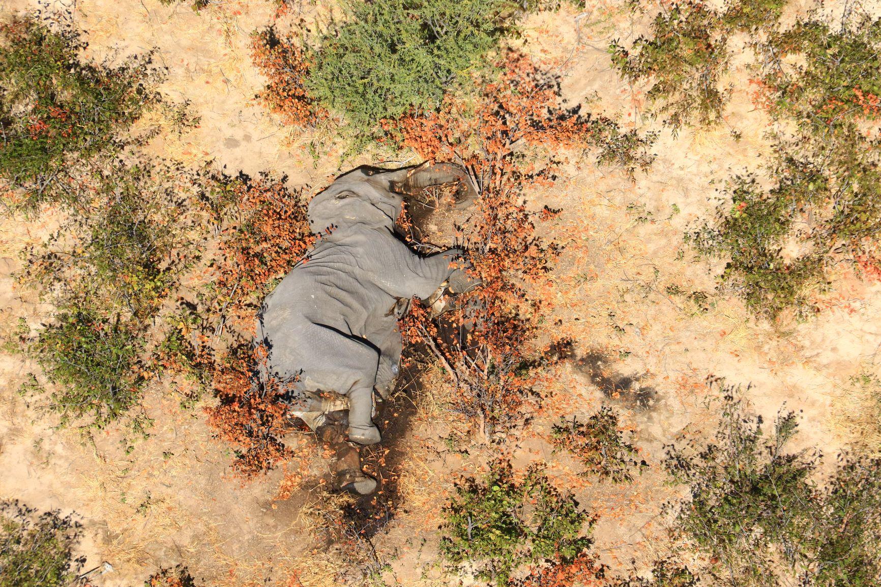 Magyarázatot találtak a botswanai tömeges elefántpusztulásra