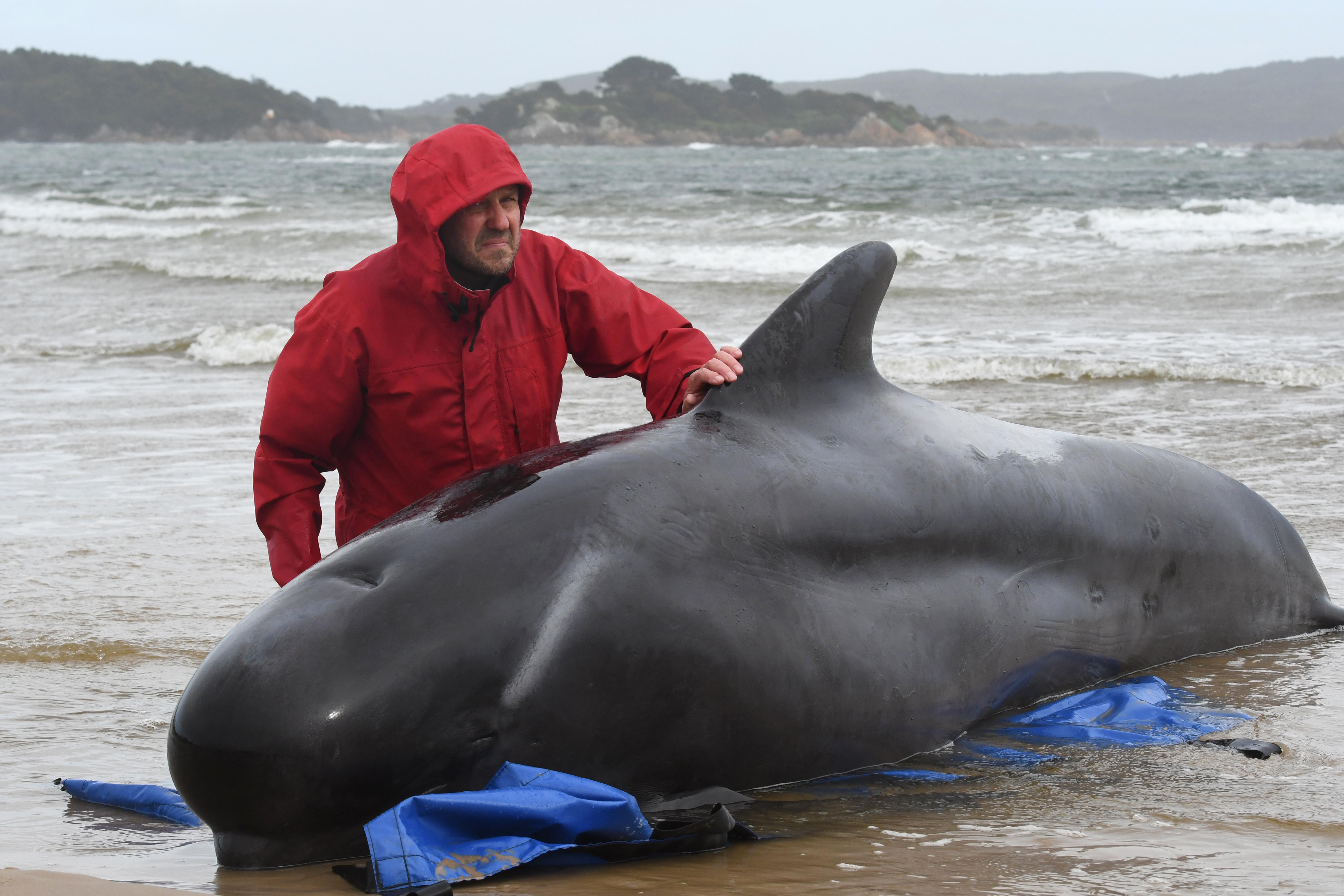 Sekély vízben rekedt gömbölyűfejű delfineket mentenek Tasmánia partjainál, 90 már elpusztult a mintegy háromszáz egyed közül