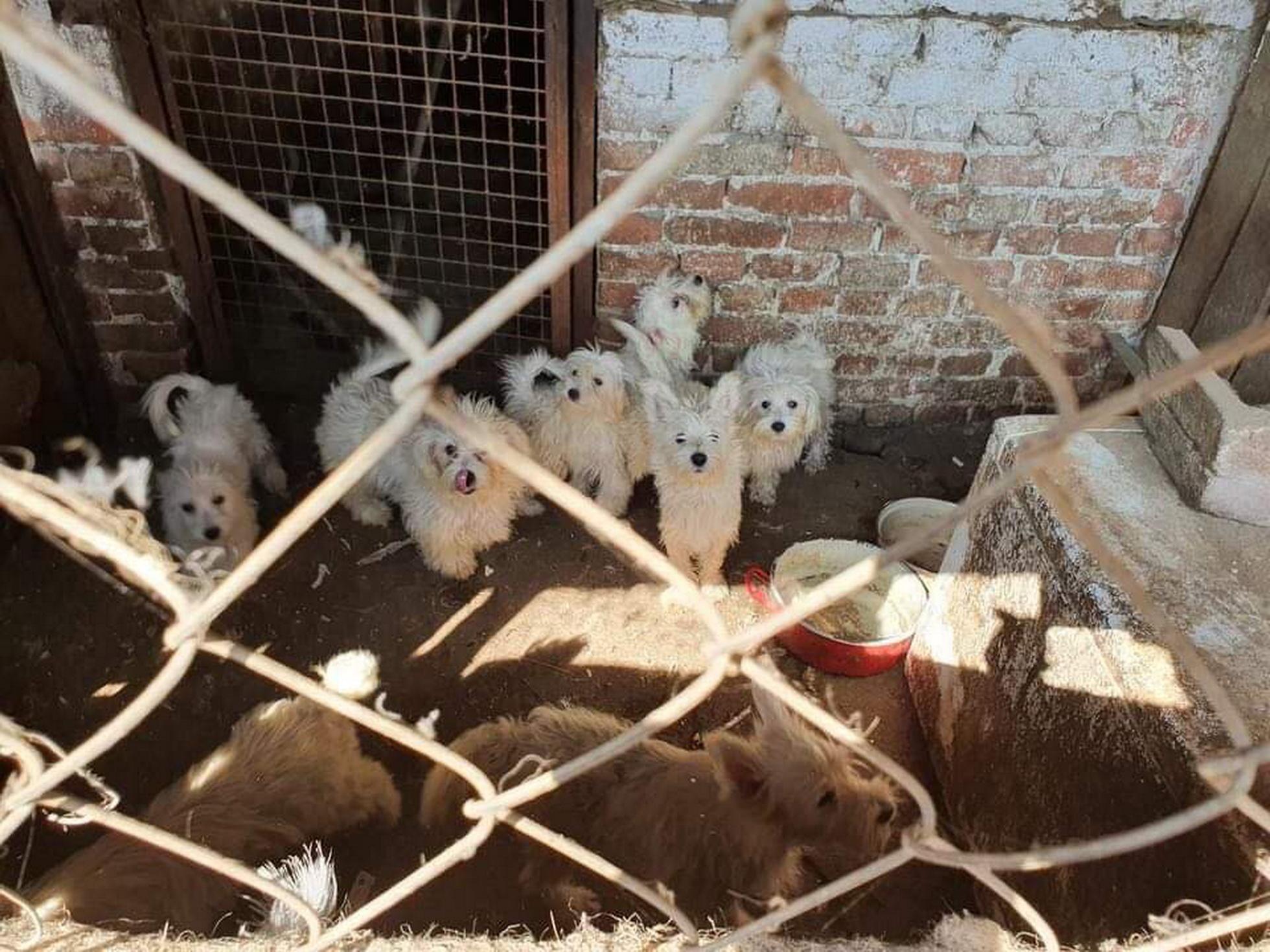 148 kutyát találtak a karcagi szaporítónál