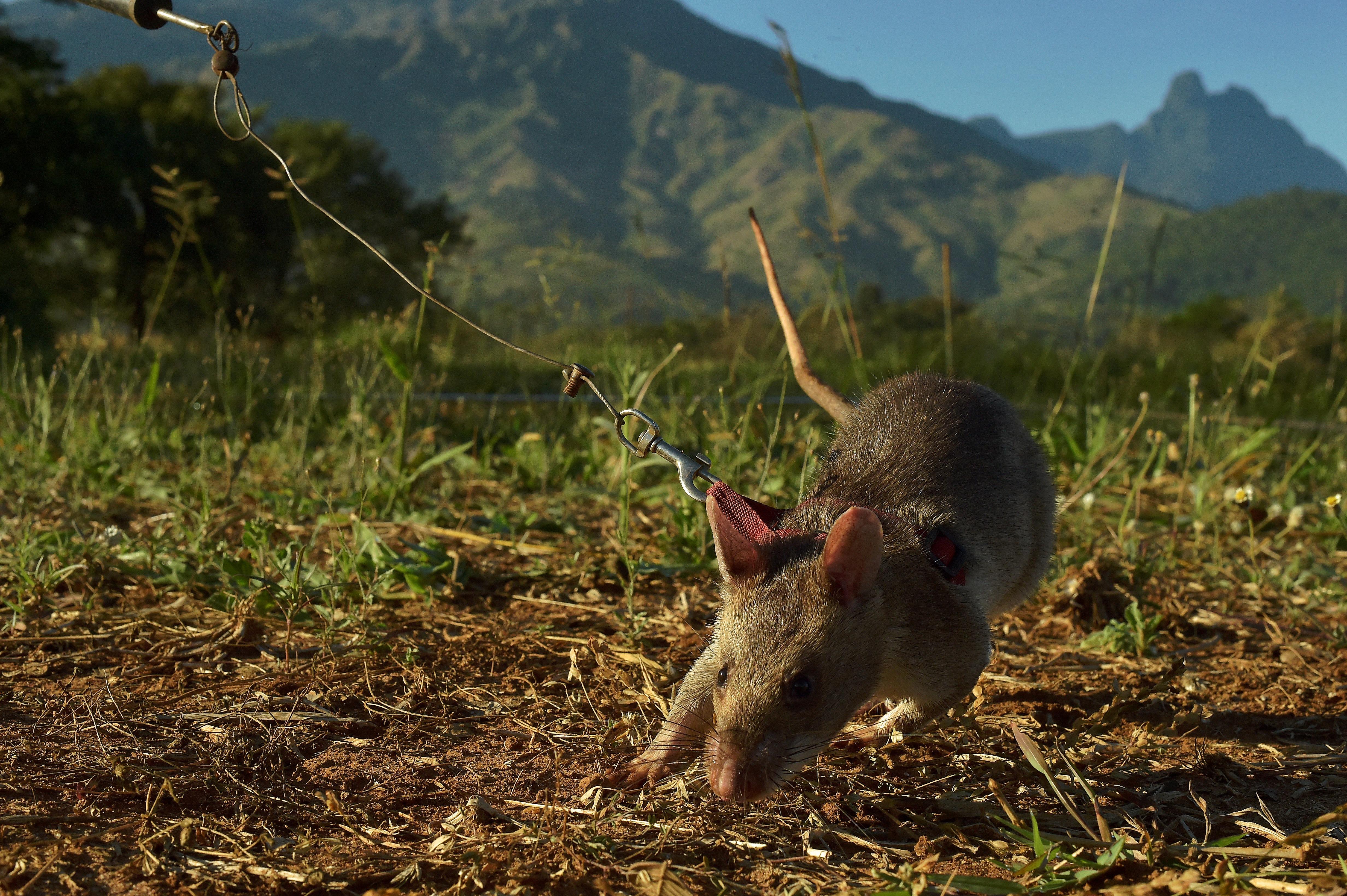 Aranymedállal jutalmazták a patkányt, aki taposóaknákat derített fel