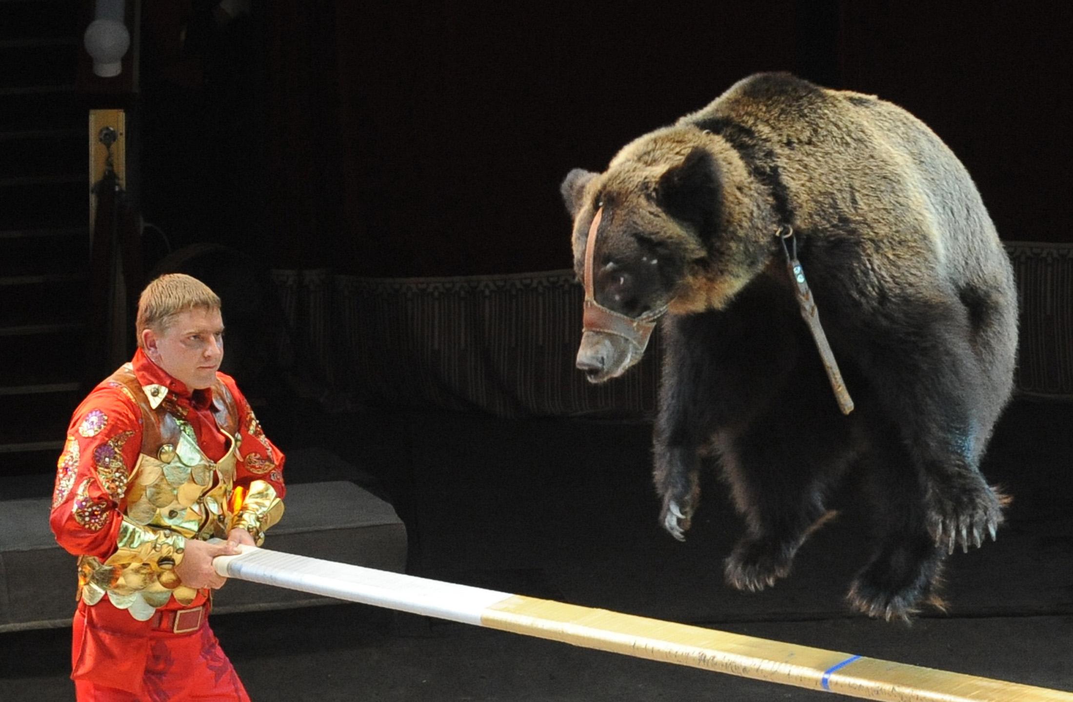 Megölt egy állatgondozót egy cirkuszi medve Moszkvában
